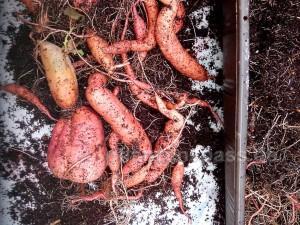 Ernte der Süßkartoffeln