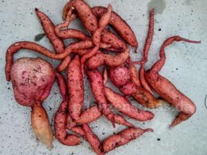 Süßkartoffel Knollen einlagern