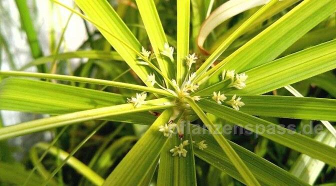 cyperus alternifolius blüht im herbst