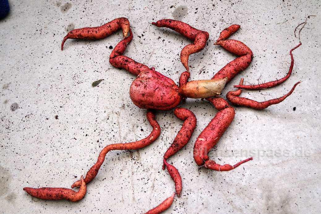 interessante Form der Süßkartoffel-Knollen Kartoffelskorpion