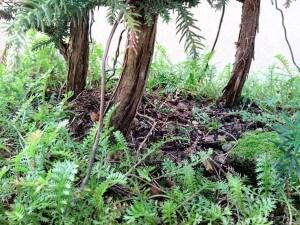 bandai sugi Weihnachtabaum-Bonsai Sicheltanne unterholz Stamm