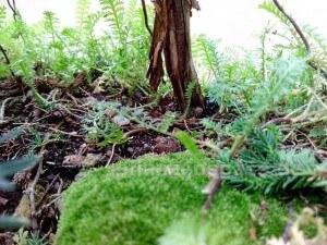 unterholz der bonsai sicheltanne