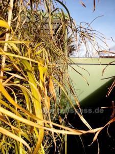 Zyperngras gelbe Blätter bei Kälte
