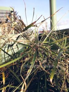Zyperngras cyperus alternifolius Winter im freien