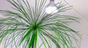 Pflanzenlampe künstliche Beleuchtung LED Papyrus