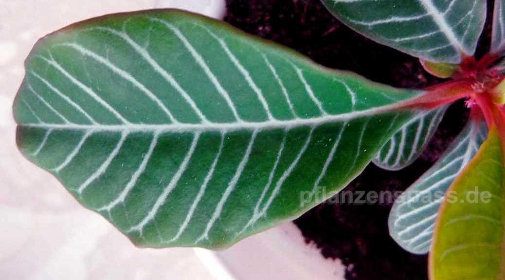 Regenwaldeiphorbie gestreifte Blätter