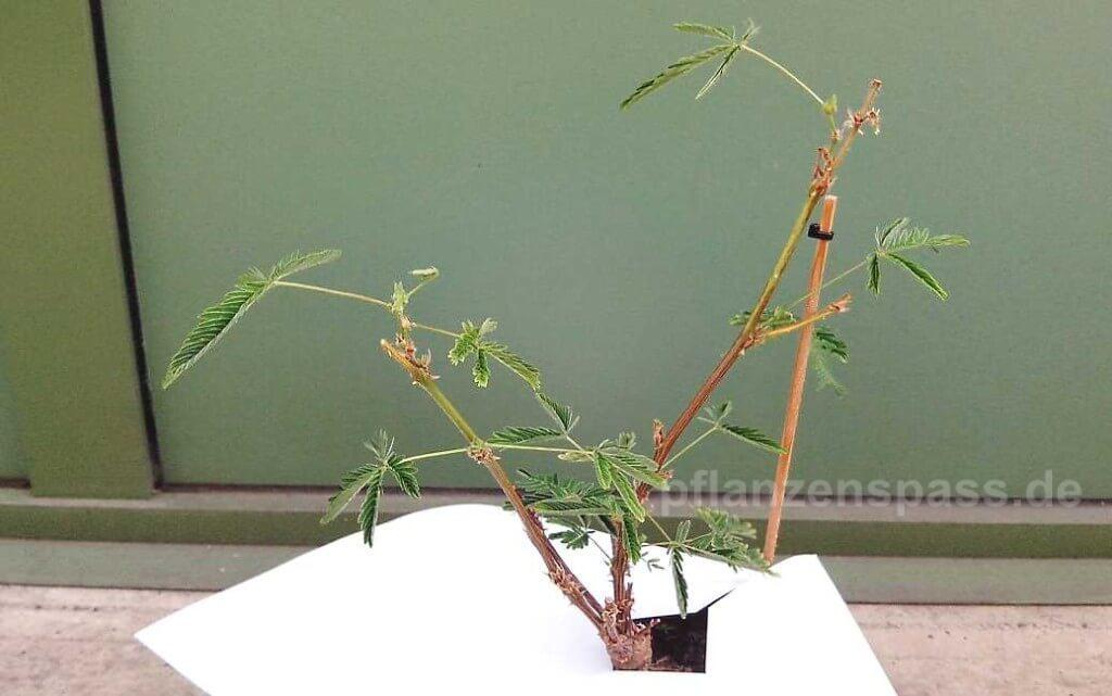 Mimose wärend der Behandling gegen Spinnmilben Bekämpfung