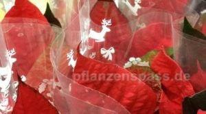 Euphorbia pulcherrima Weihnachtsstern pflege Anzucht ziehen