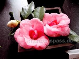 Camellia japonica Zuchtformen Kamelie