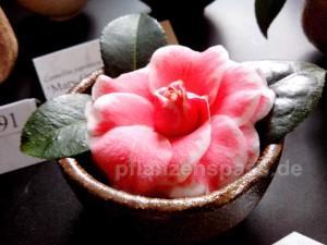 Kamelie Pflege Blütezeit