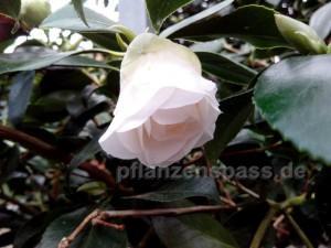 Kamelienblüte Knospe öffnet sich