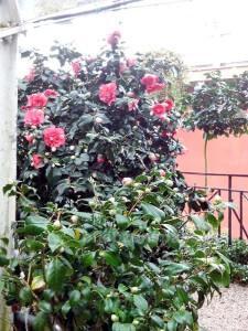 Rote Camellia japonica im Efeu-Gewächshaus