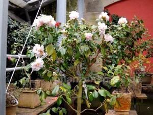 Kamelienstrauch Camellia japonica weiß