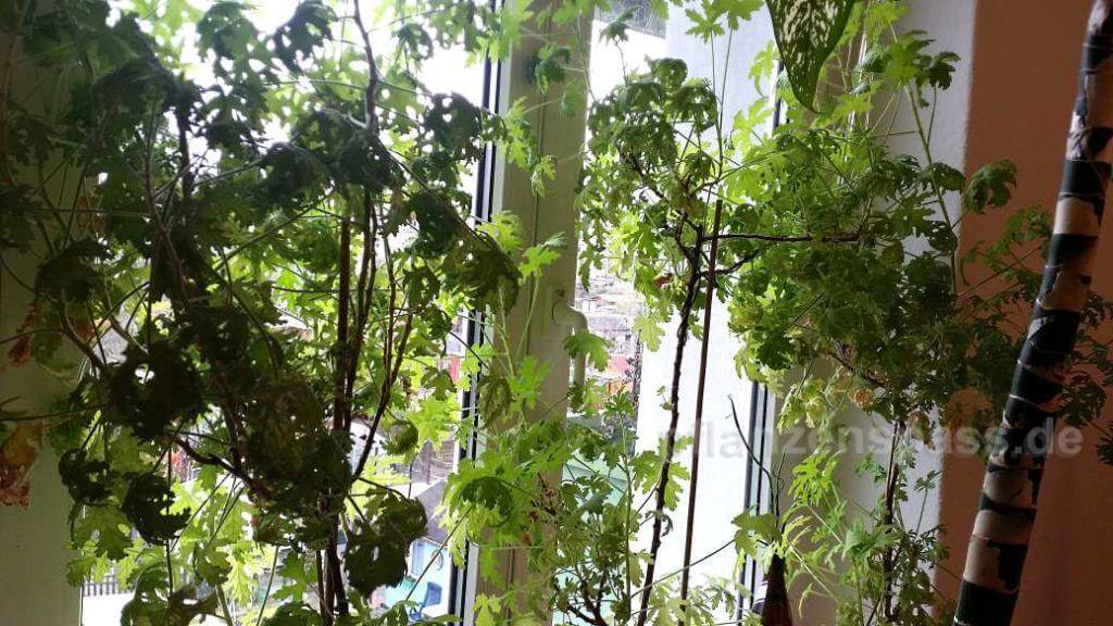 Citordorum Gebüsch Pelargonie verschneiden