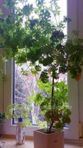 Bonsai Zitronenpelargonie vor dem Verschneiden 4. Jahr