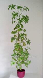 Zitronenpelargonie Pflanze verschneiden