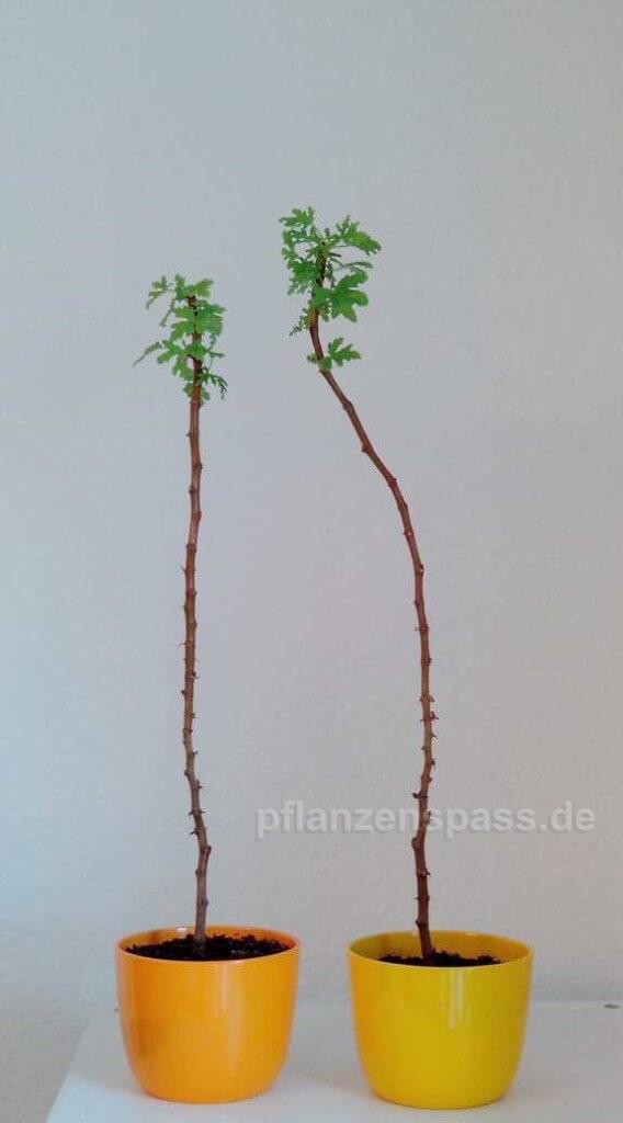 Pelargonienbonsai Neuaustrieb Bäumchen