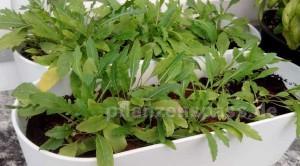 Rucola Aussaat Samen selbst pflanzen
