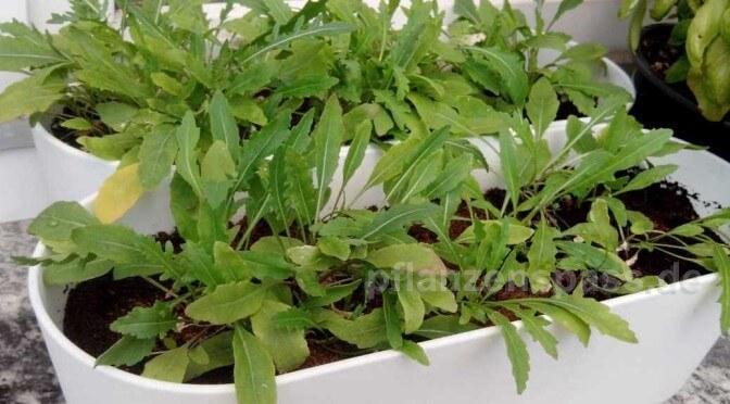 Rukola Balkonpflanze selbst pflanzen