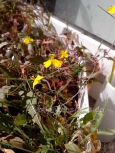 wilde Rauke Rukola blüht gelb , Blätter werden bläulich färben sich