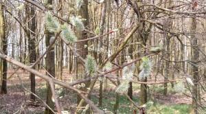 Weidenkätzchen im Wald Frühling