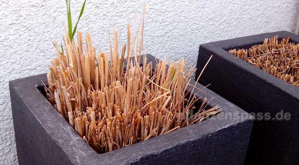 Cyperus alternifolius erfrohren