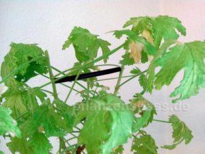 Zweige mit Abstandshalter Bonsai Distanzstücken