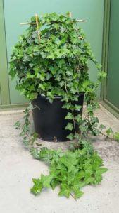 Fertig bepflanzte Efeu Hedera helix