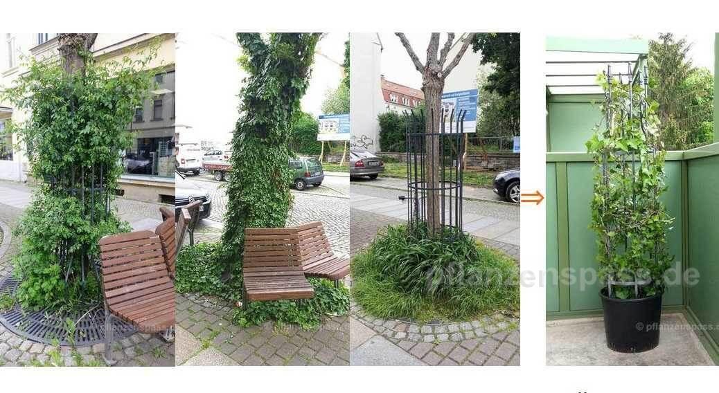 Efeu Gestaltung Park Miniatur Bonsai Theme