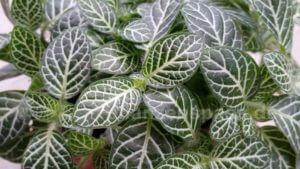 Fittonia albivenis Mosaikpflanze Netzblatt