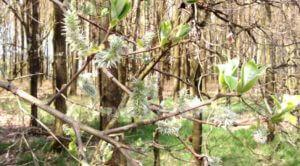 Weidenkätzchen und Neuaustrieb Frühjahr