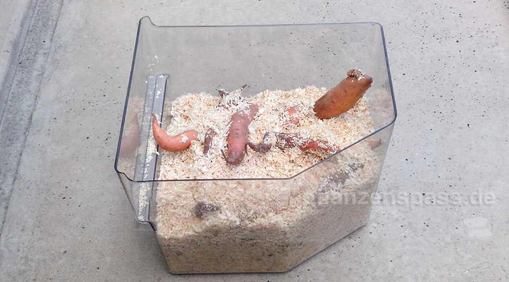 Süßkartoffel Überwinterung Kühlschrank