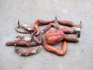 Saatgut Süßkartoffeln überwintern Ausbeute