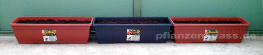 Drei Balkonkästen mit Süßkartoffeln pflanzen