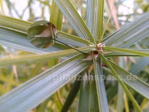 Cyperus alternifolius Knospe