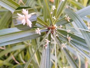 junge Blüte am Cyperus alternifolius