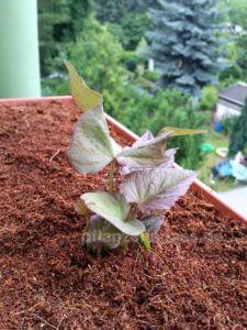 Süßkartoffel Pflanze erste Blätter Balkonkasten