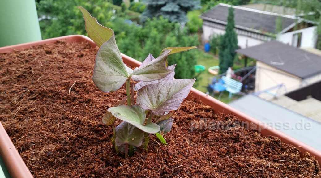 Süßkartoffel selber anbauen
