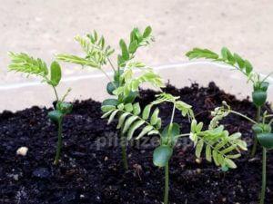 Seidenbaum Standort und Temperatur Anzucht