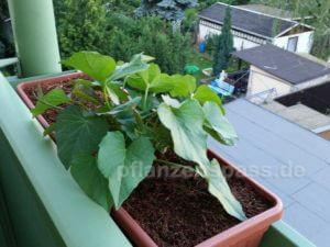 Süßkartoffel Pflanze 3 Wochen