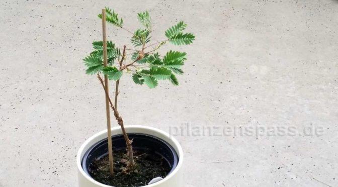 Mimose Freilandhaltung Balkonpflanze
