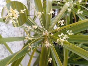 Zyperngras Cyperus alternifolius blüht