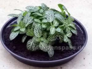 Fittonia Mosaikpflanze albivenis weiße Blattadern