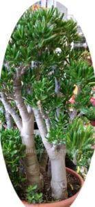 Crassula Gollum Affenbrotbaum Crassula Hobbit