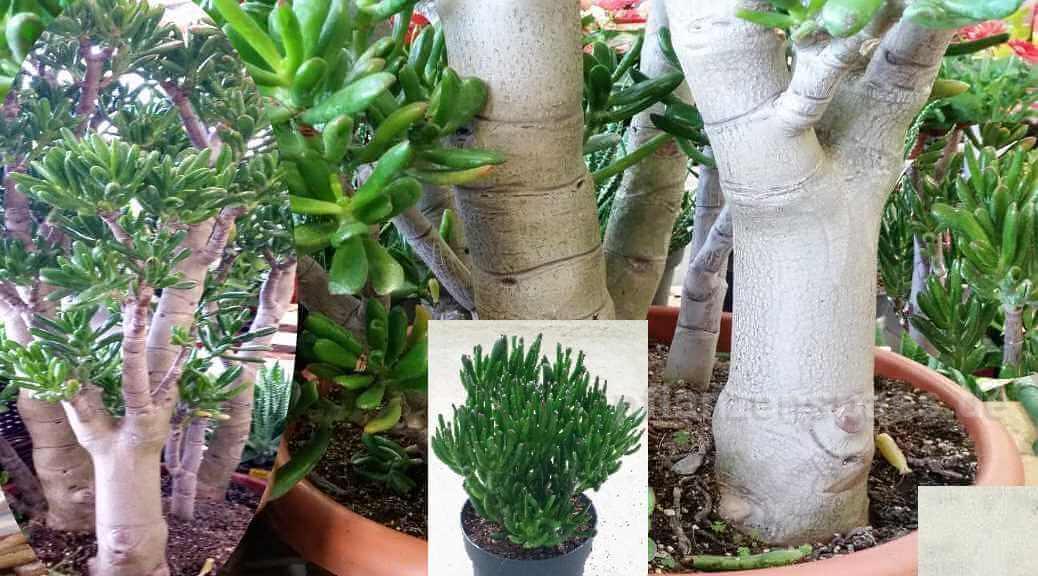 Crassula Gollum als Baum Bonsai