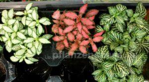 Fittonia albivenis Mosaikpflanze
