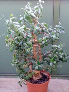 riesiger crassula ovata Affenbrotbaum