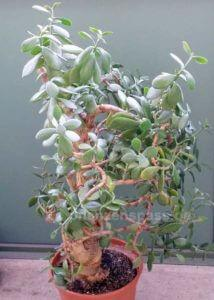 kostenlos riesiger Crassula Ovata Bonsai geschenkt