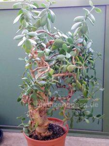 Crassula asymmetrischer Wuchs Affenbrotbaum ovata