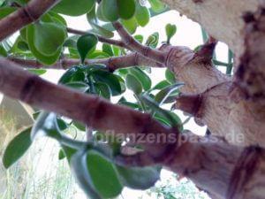 Affenbrotbaum Crassula aus der Froschperspektive